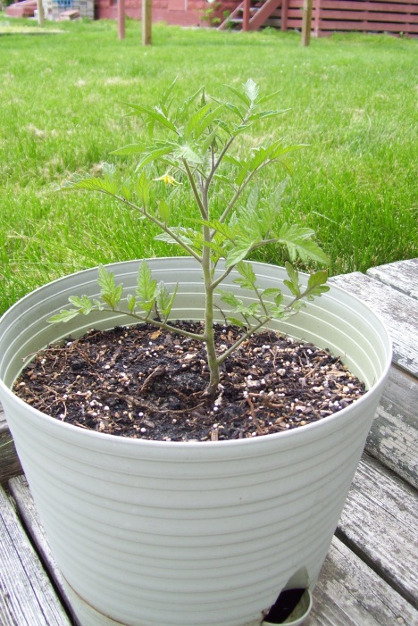 Is this a big enough pot for a tomato?